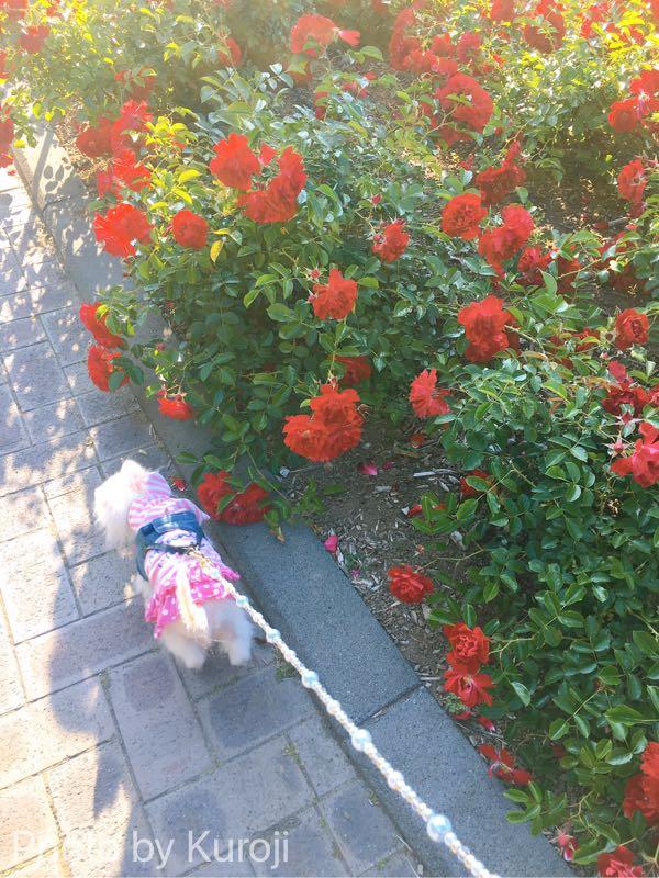 赤いバラとるいくん