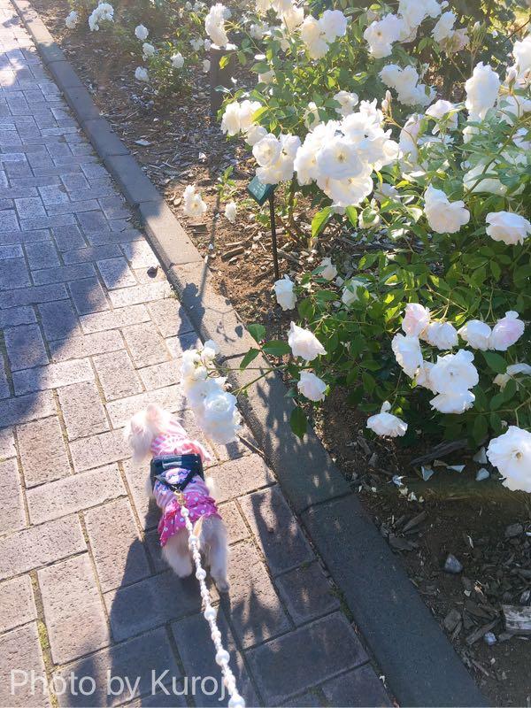 白いバラとるいくん