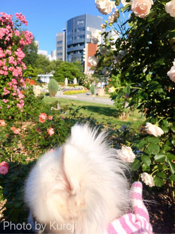 白とピンクのバラとるいくん