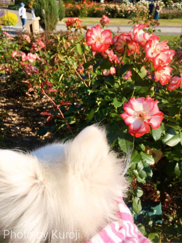 白い花に赤いフチがついた花とるいくん